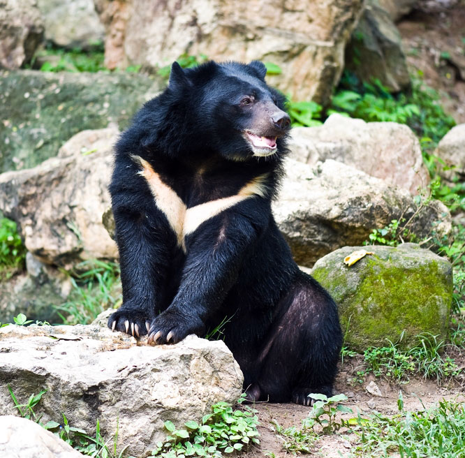 Korean moon bear