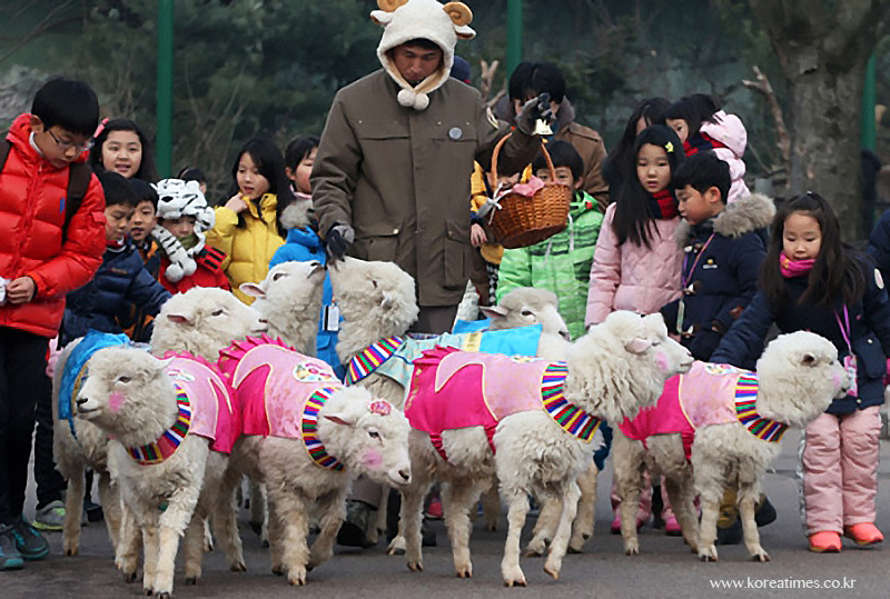 Korean sheep in hanbok